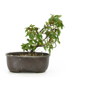 Japanese azalea (Konkiyo), 19,8 cm, ± 6 years old