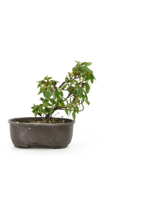 Japanese azalea (Konkiyo), 19,8 cm, ± 6 years old