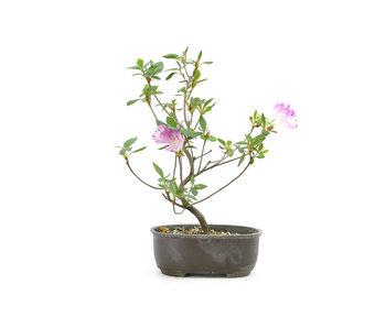 Azalea japonesa (Konkiyo), 19,9 cm, ± 6 años