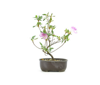 Japanese azalea (Konkiyo), 19,9 cm, ± 6 years old