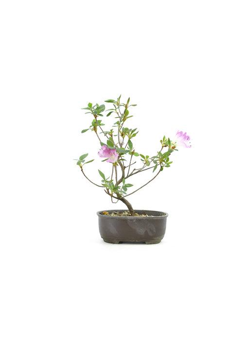 Japanese azalea (Konkiyo), 19,9 cm, ± 6 years old