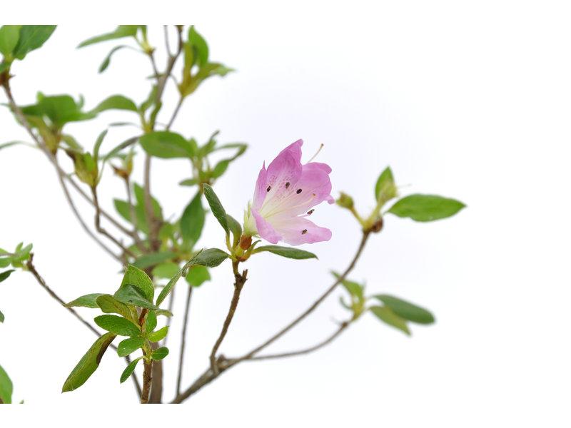 Japanse azalea (Konkiyo), 19,9 cm, ± 6 jaar oud