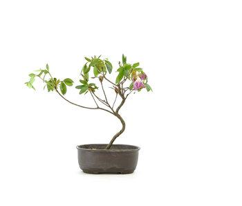 Azalea giapponese (Konkiyo), 20 cm, ± 6 anni