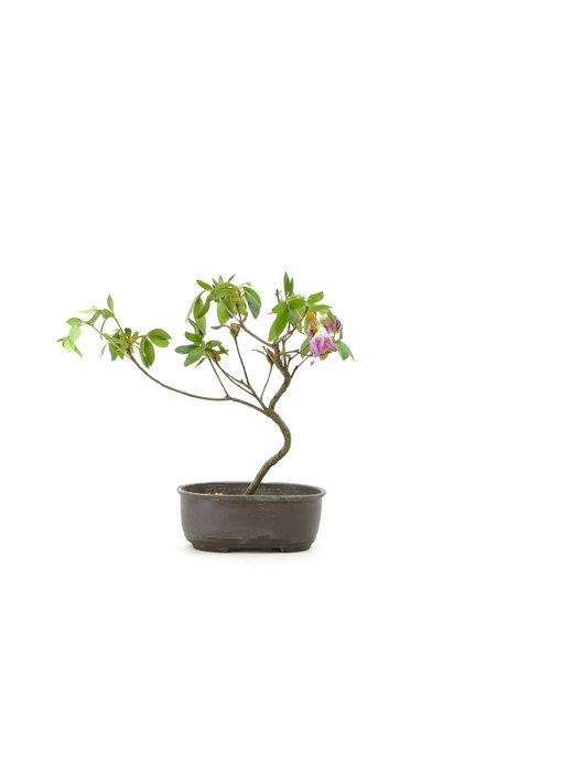 Japanese azalea (Konkiyo), 20 cm, ± 6 years old
