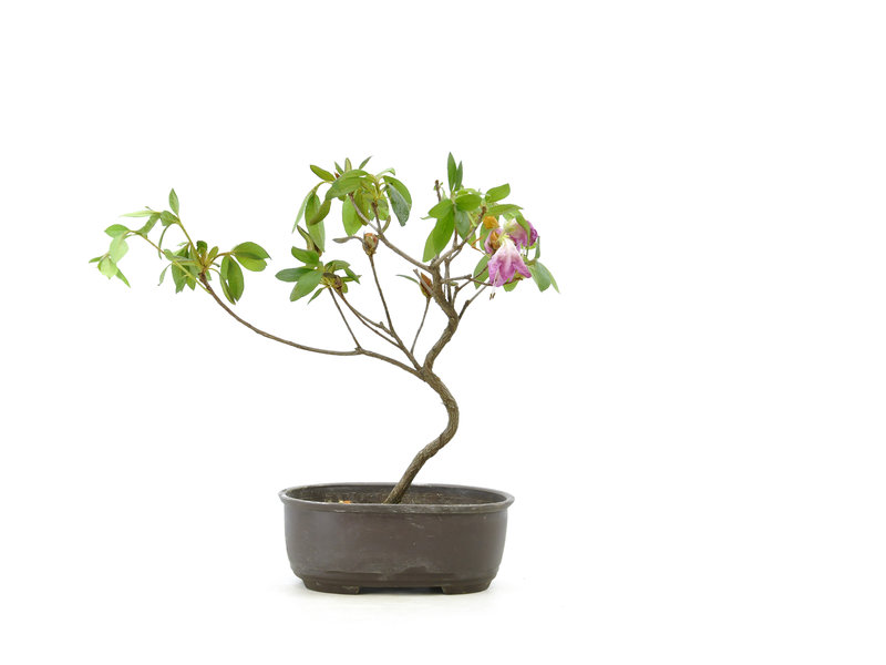Japanese azalea (Konkiyo), 20 cm, ± 6 years old