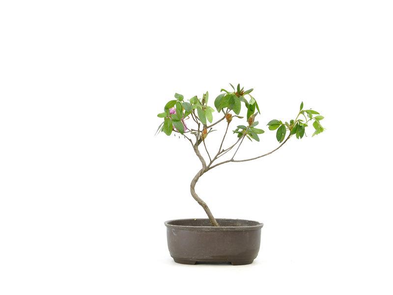 Japanse azalea (Konkiyo), 20 cm, ± 6 jaar oud