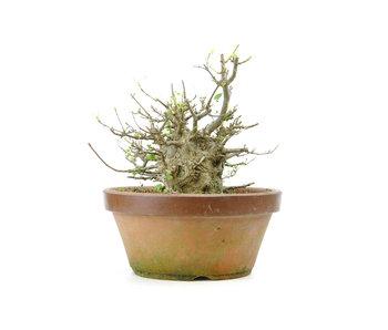 Acero tridente, 22 cm, ± 30 anni