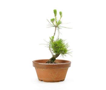 Japanese black pine, 13,8 cm, ± 10 years old