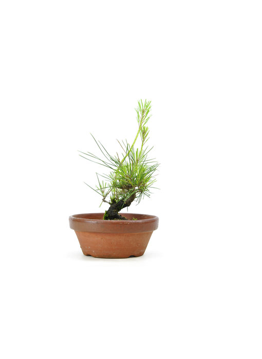 Japanese black pine, 13,9 cm, ± 10 years old