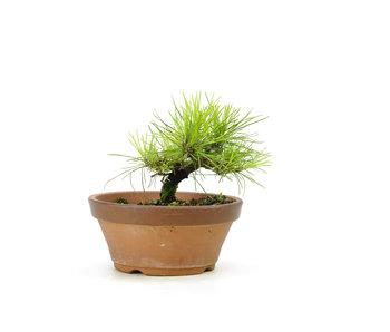 Japanese black pine, 14 cm, ± 10 years old