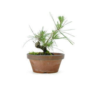 Japanese black pine, 14,1 cm, ± 10 years old
