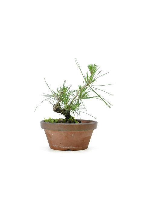 Japanese black pine, 14,1 cm, ± 10 years old