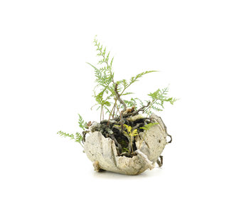 Japanese fern, 17 cm, ± 8 years old