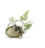 Japanese fern, 17 cm, ± 8 years old