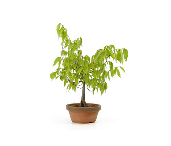 Japanese greybark elm, 17 cm, ± 12 years old