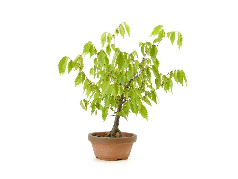 Japanese greybark elm, 17 cm, ± 12 years old