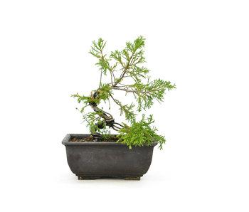 Ginepro cinese (itoigawa), 17 cm, ± 5 anni