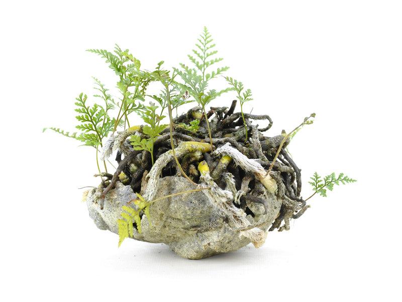 Japanese fern, 12 cm, ± 10 years old
