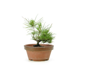 Japanese black pine, 15,9 cm, ± 10 years old