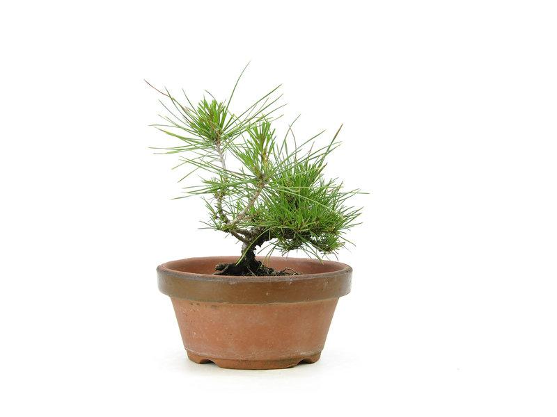 Japanese black pine, 15,9 cm, ± 10 years old