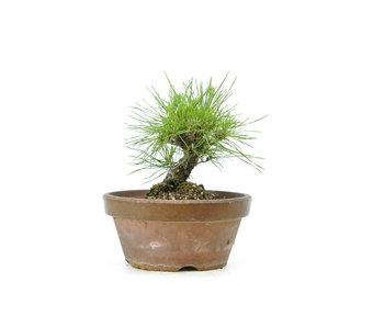 Japanese black pine, 14,2 cm, ± 10 years old
