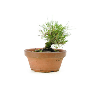 Japanese black pine, 14,3 cm, ± 10 years old