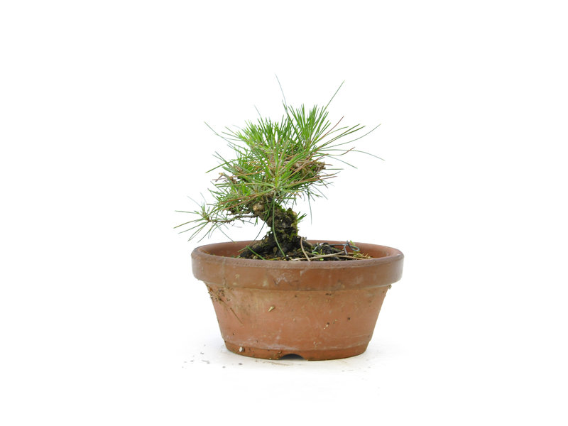 Japanese black pine, 14,3 cm, ± 10 years old