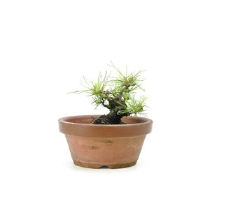 Japanse zwarte den, 15,7 cm, ± 10 jaar oud