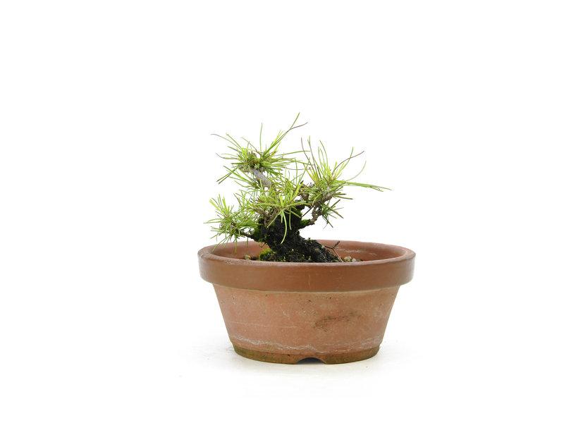 Japanese black pine, 15,7 cm, ± 10 years old