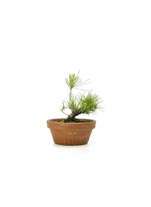 Japanese black pine, 15,6 cm, ± 10 years old