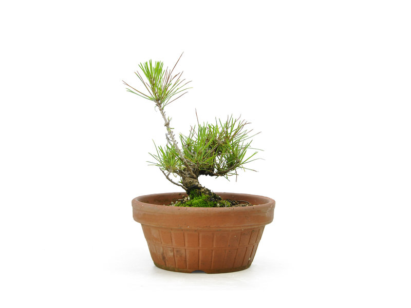 Japanese black pine, 15,6 cm, ± 10 years old
