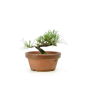 Japanese black pine, 14,4 cm, ± 10 years old