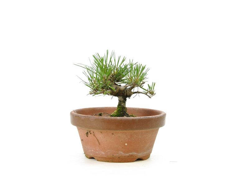 Japanese black pine, 14,4 cm, ± 10 years old