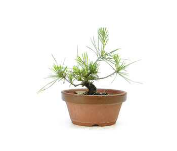 Japanese black pine, 15,3 cm, ± 10 years old