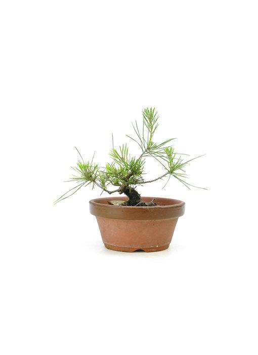 Japanese black pine, 15,3 cm, ± 10 years old
