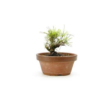 Pino negro japonés, 14,5 cm, ± 10 años.