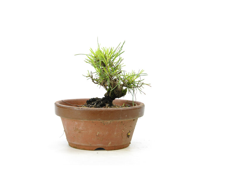 Japanese black pine, 14,5 cm, ± 10 years old