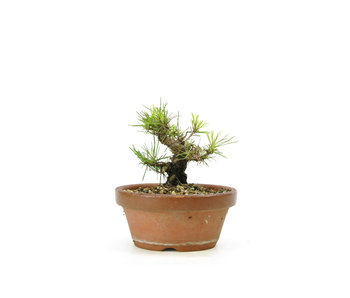 Japanese black pine, 14,6 cm, ± 10 years old