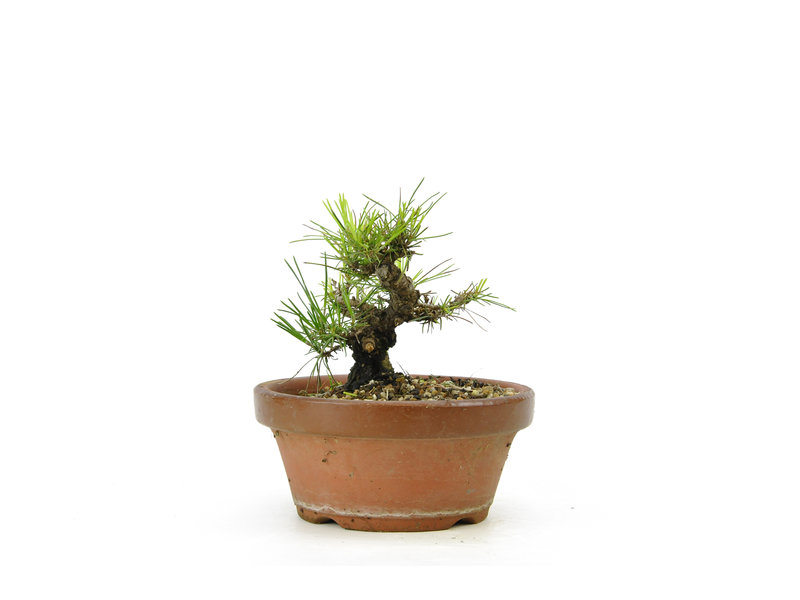 Japanese black pine, 14,6 cm, ± 10 years old