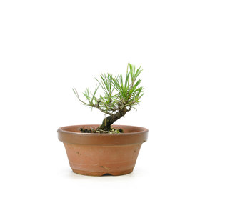 Japanese black pine, 14,7 cm, ± 10 years old