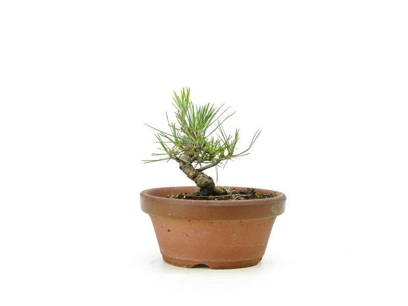 Japanese black pine, 14,7 cm, ± 10 years old