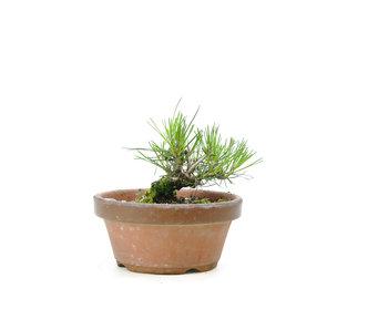 Japanese black pine, 14,8 cm, ± 10 years old