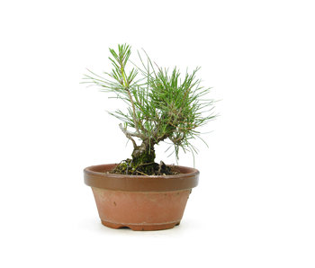 Japanese black pine, 15 cm, ± 10 years old