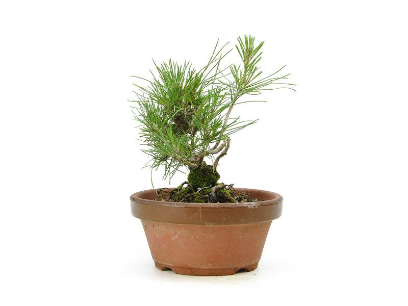 Japanese black pine, 15 cm, ± 10 years old