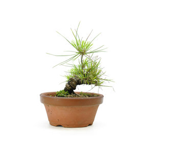 Japanese black pine, 15,1 cm, ± 10 years old