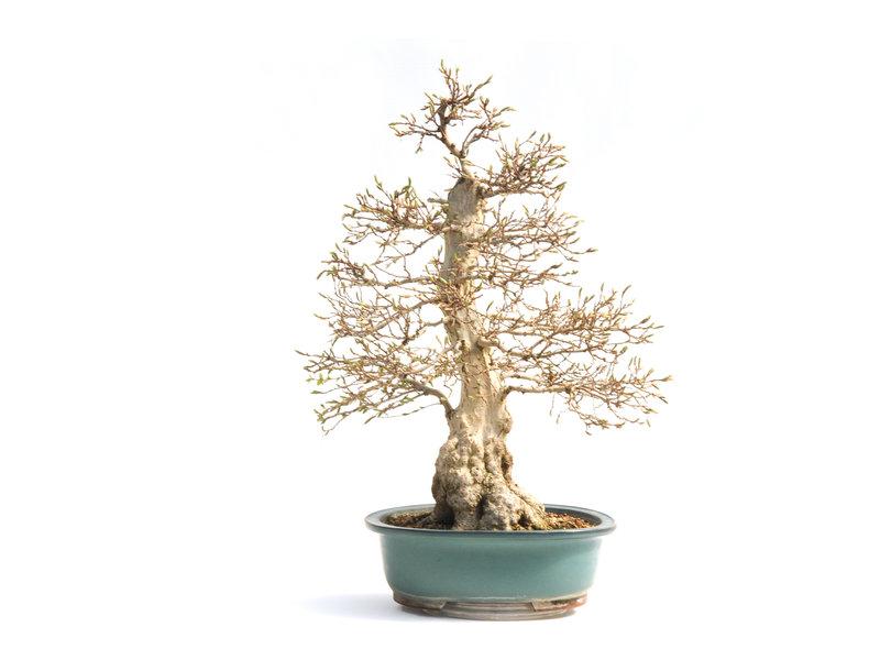 Koreaanse haagbeuk, 65 cm, ± 55 jaar oud (yamadori) met een nebari van 22 en een boomstam van 10 cm in diameter