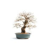 Koreaanse haagbeuk, 58 cm, ± 50 jaar oud (yamadori) met een nebari van 19 en een boomstam van 11 cm in diameter