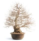 Koreaanse haagbeuk, 75 cm, ± 50 jaar oud (yamadori) met een nebari van 28 en een boomstam van 18 cm in diameter