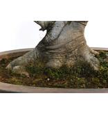 Japanse witte beuk of Siebold's beuk (Buna), 44 cm, ± 40 jaar oud