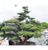 Japanische Weißkiefer, 220 cm, ± 45 Jahre alt, in einem Topf mit einem Fassungsvermögen von 600 Litern